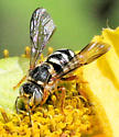 Bee - Dianthidium - male