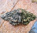 Phaeoura quernaria - male