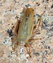 green - Thamnotettix zelleri