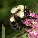 large Bumble Bee - Bombus impatiens - female