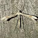 Gillmeria pallidactyla - male