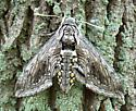 Hawk Moth - Manduca quinquemaculatus