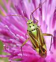 Potato Bug? - Closterotomus norvegicus