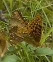 Great spangled? - Speyeria cybele - male - female