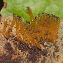 Highbush blueberry leaf skeletonizers - Datana