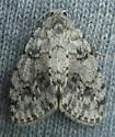 unknown moth - Clemensia albata