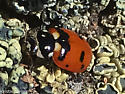 Casey's (?) lady beetle on Bidwell Peak? - Hippodamia caseyi