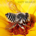 Leafcutter Bee - Megachile brevis - female