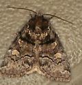 moth - Cosmia praeacuta