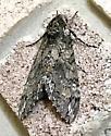 Carolina Sphinx - Hodges#7775 (Manduca sexta) - Manduca sexta