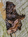 moth072214b - Homophoberia apicosa
