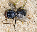 Big Fly attracted to Beetle - male