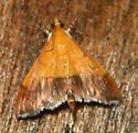 bicolored pyrausta moth (Pyrausta bicoloralis) - Pyrausta bicoloralis