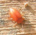 Small medium brown Beetle - Epipocus unicolor