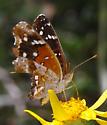 Nymphalidae - Anthanassa texana