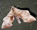 Walnut Sphinx Moth - Amorpha juglandis - Amorpha juglandis