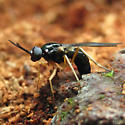 Small wasp - Rachicerus nitidus
