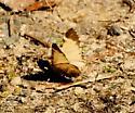 Small Moth in Forest Park - Stamnodes topazata