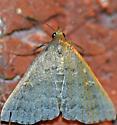 Moth (Tetanolita sp.?)