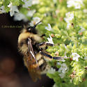 Occidentalis at Emerson? - Bombus occidentalis