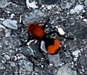 Spider in Driveway - WHAT IS IT? - Dasymutilla occidentalis - female