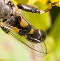 Black & Yellow Fly - Syritta pipiens