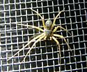 Philodromus dispar? - Philodromus dispar