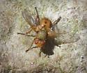 Green and Orange Fly - Euclytia flava