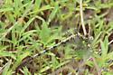 Jade Clubtail - Arigomphus submedianus - male