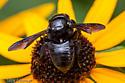 Carpenter Bee - Megachile xylocopoides - female