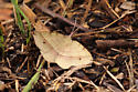 Moth - Erastria cruentaria