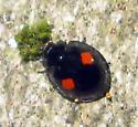 Lady Beetle - Chilocorus stigma