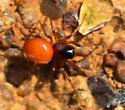 red spider Hypsosinga rubens?