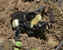 Black-and-gold Bumble Bee - Bombus auricomus