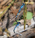 Damselflies mating - male - female