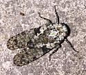 Cryptic leafhopper? - Calyptoproctus marmoratus