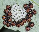 Hatchlings - Halyomorpha halys
