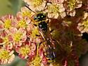 Beewolf - Philanthus crabroniformis - male
