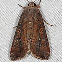Unknown Moth - Spodoptera frugiperda
