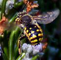 Small, bright yellow bee, Bay Area, CA - Anthidium manicatum