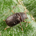 Fungus Weevil - Choragus zimmermanni - male