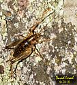 Camel Cricket - Ceuthophilus - female