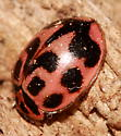 V-marked Lady Beetle - Neoharmonia venusta