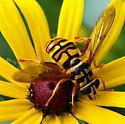 black and yellow bee on black eyed susan - Milesia virginiensis