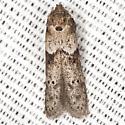 Scavenger Moth - Blastobasis