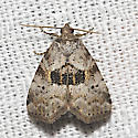 Black-patched Graylet Moth - Hodges#9040 - Hyperstrotia secta