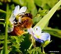 Honey bee on Persian speedwell - Apis mellifera