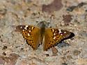 Unkown Butterfly - Asterocampa leilia - male
