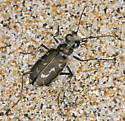 Hairy-Necked Tiger Beetle: Affinities to