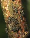 Nymphs - Cerastipsocus venosus